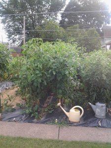 Tomato plants2